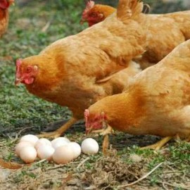 鸡为什么会硬那怎么办(鸡煲)
